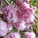 桜[サクラ・サトザクラ系]:菊枝垂れ(キクシダレ)接木苗4号ポット