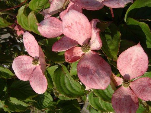 ヤマボウシ 常緑 赤花ヤマボウシ サトミ 単幹苗 庭木 落葉樹 シンボルツリー