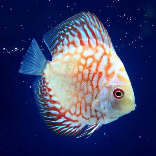 (熱帯魚) チェッカーボードピジョン・ディスカス(Sサイズ)(1匹) 本州・四国限定[生体]