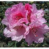 シャクナゲ交配種:屋久島交配エリザベス根巻き樹高40~50cm[美しい花色の希少な品種]
