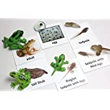 Montessori Frog Life Cycle Animal Match Cards and Figurines. Nomenclature Science Work Teaching