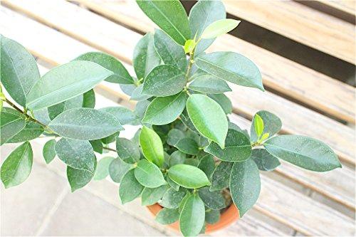 【観葉植物】【ギフト】 ガジュマル 5寸鉢 【ラッピング代込】【送料込価格】