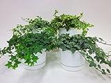 【産地直送】ヘデラ吊(イングリッシュアイビー)(ミニ観葉植物セット)1ケース(お得な4鉢入り) とってもかわいいミニサイズの観葉植物です。プラスチックの鉢にキレイなグリーンのヘデラが4鉢入っているので、いろいろな場所に飾れます。