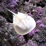 (海水魚 カニ)アメリカカブトガニ MLサイズ(1匹) 本州・四国限定[生体]