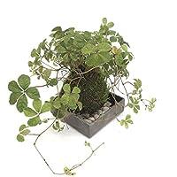 5枚に分かれた葉がスタイリッシュ【シュガーバインの苔玉・焼締角器セット】 (敷石の色(白))