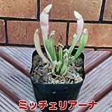 食虫植物 観葉植物 サラセニア 【ミッチェリアーナ】1ポット 意外と簡単な観葉植物の1種なのです