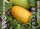 【てしまの苗】接木マクワウリ/金太郎   9cmポット
