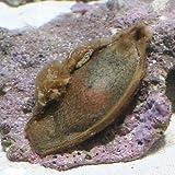 (海水魚 サメ 卵)イヌザメのたまご(1匹) 本州・四国限定[生体]