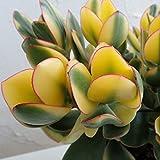 金のなる木(カゲツ):キラメキ5号鉢植え[大人気!縁起の良い花月・斑入り]
