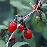 クコ(枸杞):ウルフベリー4~5号ポット[葉をお茶に・果実を薬膳・果実酒に利用する樹木] ノーブランド品