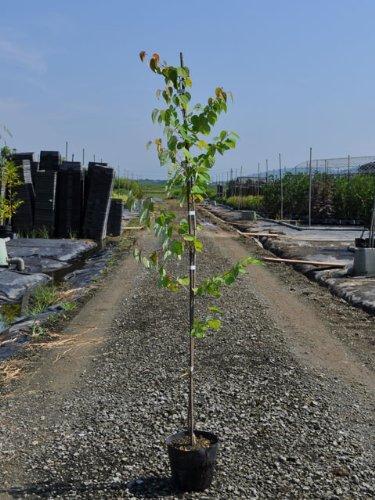 【6か月枯れ保証】【葉や形を楽しむ木】カツラ 1.2m