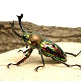 (昆虫)ニジイロクワガタ クィーンズランド産 成虫 55?59mm(1ペア) 外国産クワガタ [生体]