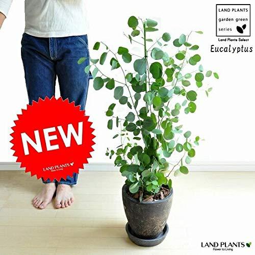 LAND PLANTS ユーカリ ポポラス 黒色エッグ鉢に植えた ユーカリの木 Eucalyptus