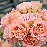 バラ苗 ロマンティックレース 国産大苗6号スリット鉢 フロリバンダ(FL) 四季咲き中輪 ピンク系