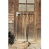 アオダモ 株立ち 樹高1.8m(樹高/根鉢含む)