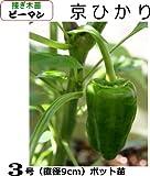 ピーマン苗 京ひかり(接ぎ木直径9cmポット苗)3ポットセット