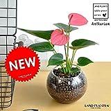 LAND PLANTS ガラス陶器で育てる アンスリューム(ピンク色)アンスリウム ハイドロカルチャー