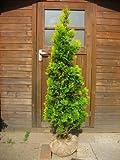ヨーロッパゴールド 樹高1.2m前後 育てやすい・人気のコニファー♪