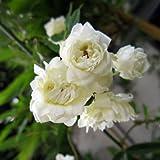 長尺つるもの:モッコウバラ白花八重5号ポット長さ1.5~2m[常緑性] ノーブランド品