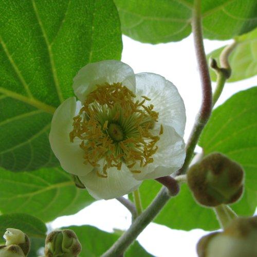 キウイ(オス木早咲き):マック4〜5号ポット[キウイメス木の受粉樹に][苗木] ノーブランド品