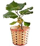 キウイ鉢植え 果樹実付き フラワーギフト 花鉢