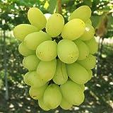 ぶどう 苗木 翠峰(すいほう) 12cmポット苗 ブドウ苗 葡萄
