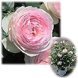 つるバラ:ピエール・ド・ロンサール8号大型アンドン仕立て[返り咲き][殿堂のバラ]
