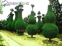熱い販売50pcsサイプレスの木Platycladus OrientalisオリエンタルArborvitae植物Conifer盆栽Diyホームガーデンミニ盆栽 - トレ:バイオレット