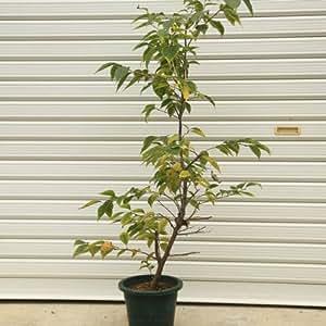 庭木:赤花エゴノキ(エゴの木)ピンクチャイム 樹高:約80cm
