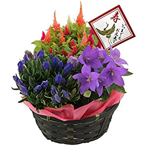 敬老の日ギフト 秋の3種寄せバスケット フラワーギフト 鉢花