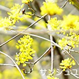 サンシュユ 根巻き苗 庭木 落葉樹