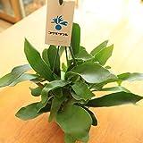 観葉植物:コウモリラン*ビカクシダ 吊り鉢