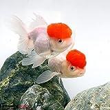 (金魚)丹頂(1匹) 本州・四国限定[生体]