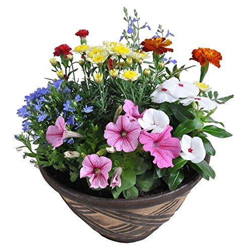 季節の鉢植え 常滑焼き陶器鉢(8号鉢・こげ茶) 雛壇タイプ
