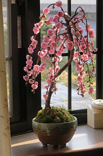 八重しだれ梅盆栽 しだれ梅盆栽