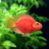 (熱帯魚)キングコングパロットファイヤー Sサイズ(3匹) 本州・四国限定[生体]