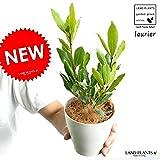 LAND PLANTS 月桂樹(ゲッケイジュ) 4号サイズ