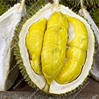HIGH GERMINATION SEEDS ONLY NOT PLANTS: ZLKING 5pcs Durian Seed Delicious King Of Fruit High-nutrition Outdoor Rare Seeds Funny Bonsai