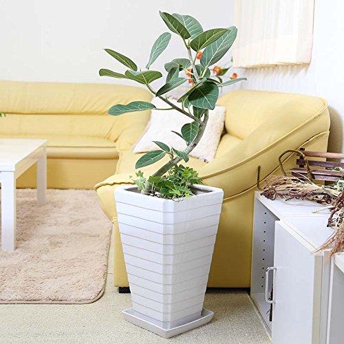 【ブルーミングスケープ】ベンガレンシス 曲がり&寄せ植え 8号 ホワイトスクエア陶器鉢 Gタイプ