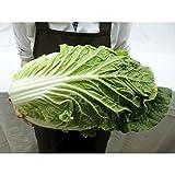 """長野県 """"木曽 御嶽はくさい"""" 1玉 約2.5kg 御嶽白菜"""