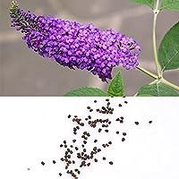50個珍しい蝶ブッシュBuddleias Davidiiの種子屋内の屋外利用可能な家禽の果物の種植物愛好家の盆栽庭