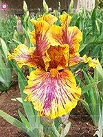 20個紫色のアイリスの種ひげを生やしたアイリスの種まれなアイリス胡蝶蘭の盆栽の花の種多年生の庭の花See