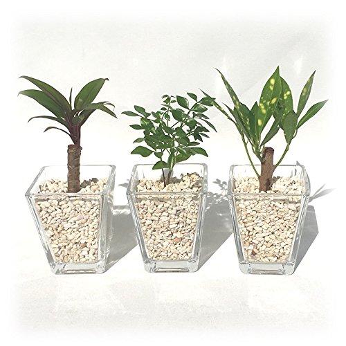 ミニ観葉植物 ハイドロカルチャー サンゴ砂(3鉢セット)