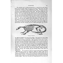 自然史 1894-95 のインドのセンザンコウの骨組印刷物