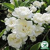 バラ苗 【モッコウバラ 白花(CL) 一季咲き】 プラスチック鉢植えアーチ向け 薔薇 ローズ