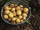 徳之島のジャガイモ