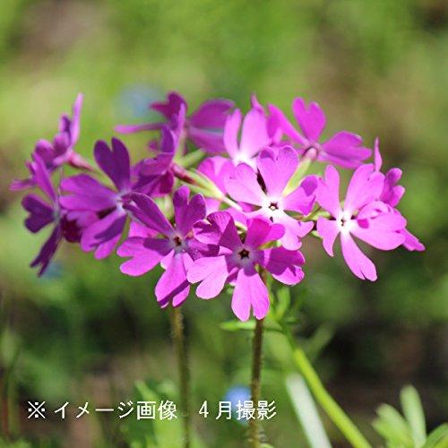 山野草:日本サクラソウ(桜草) 9cmポット仮植え苗【紫桜館山の花屋】