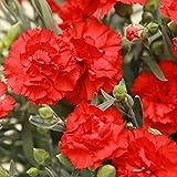 母の日ギフト 鉢花カーネーション 花とスイーツセット 人気ギフトセット(赤色の生花)
