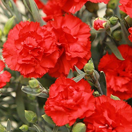 母の日ギフト カーネーション鉢花とスイーツセット 花とスイーツ (赤)