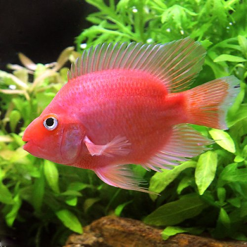 (熱帯魚) キングコングパロットファイヤー MSサイズ(1匹) [生体]